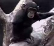 爆笑チンパンジー